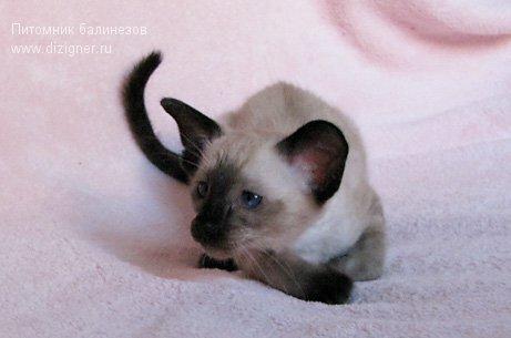 сиамский котёнок, питомник Dizigner