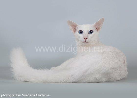 Балийский кот порода балинез. Яванез