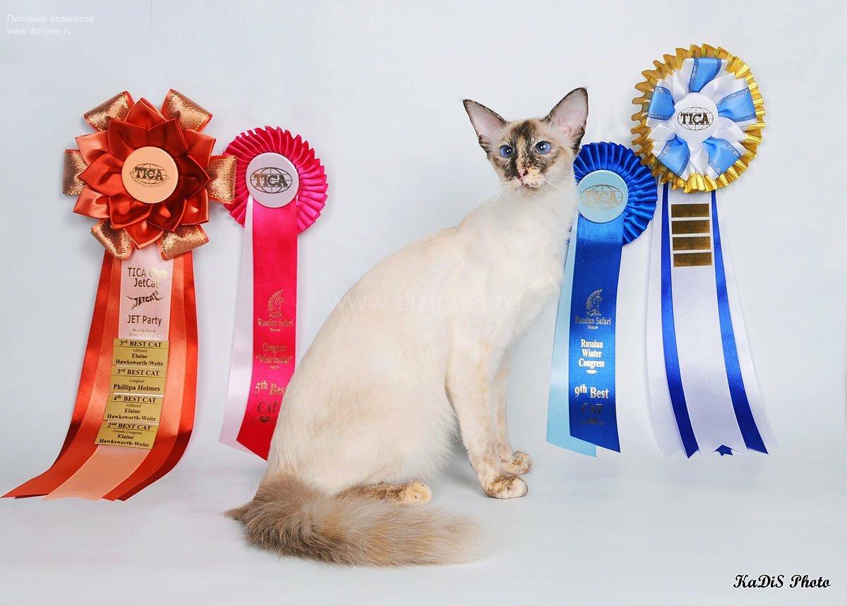 балийская кошка из питомника балинезов  Dizigner