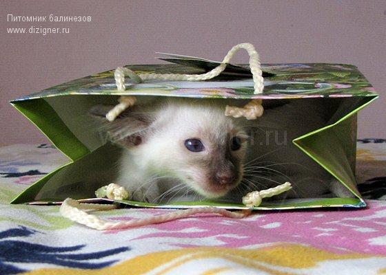 фото котенок балинез