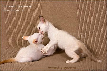 котята балинезы играют
