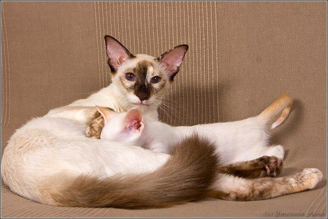 балинез с котенком