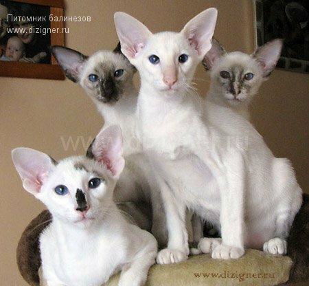 балийские и сиамские котята