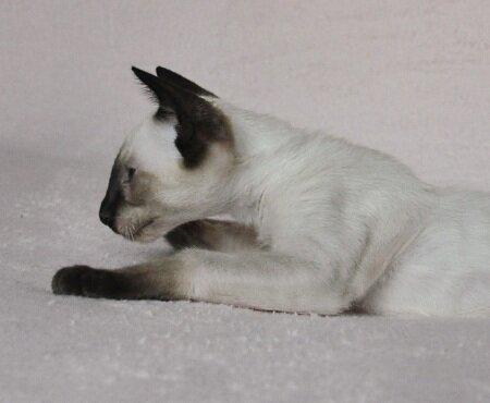 сиамский котенок в профиль