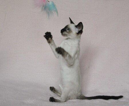 продается сиамский котенок