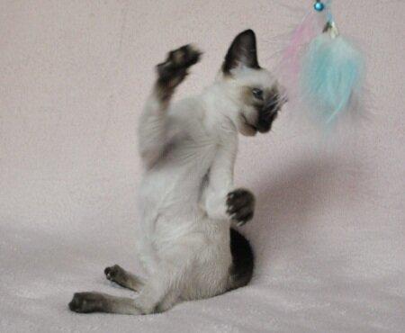 сиамский котенок на продажу