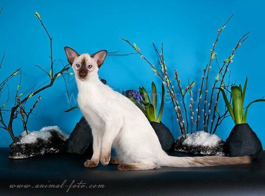 Балийский кот - балинез