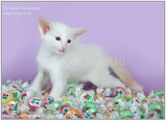 котенок балинез, питомник балинезов