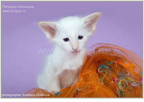 котёнок балинез фото