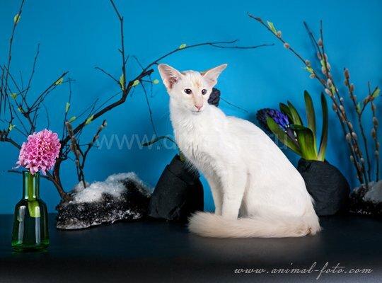 котенок балинез весной