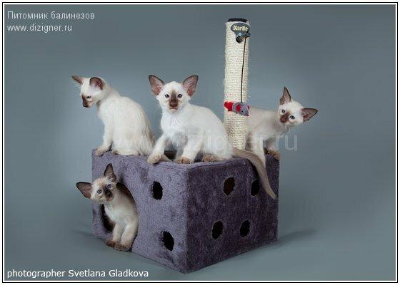 балинез и когтеточка для кошки