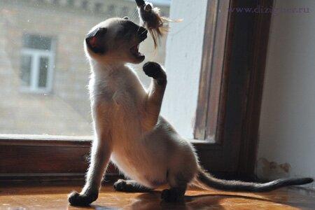 сиамский котенок из питомника Dizigner