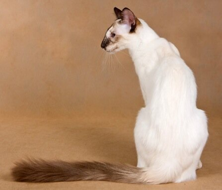 редкая порода кошек балинез